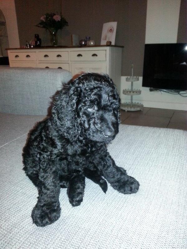 Op de foto Hutch als 7 weken oude pup